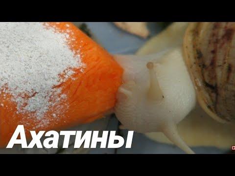 Большие улитки альбиносы жадно едят
