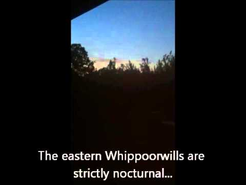 Whippoorwill Call in Central North Carolina