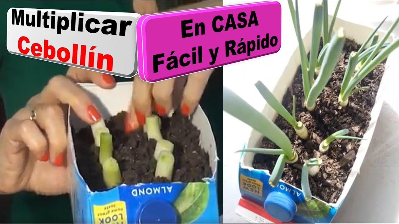 C mo multiplicar plantas de ceboll n en casa youtube - Como se planta el bambu ...