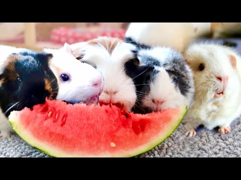 Guinea Pigs Taste Watermelon for First Time