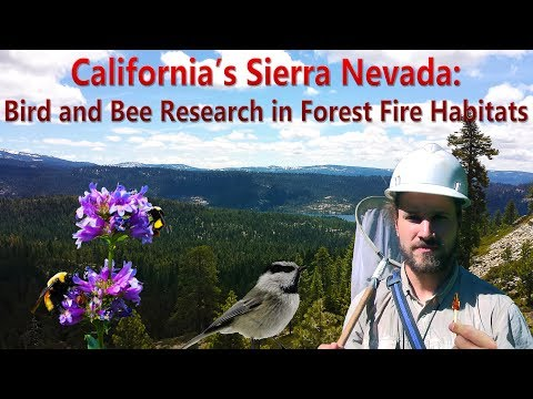 California's Sierra Nevada: Bird And Bee Research In Forest Fire Habitats (Documentary)