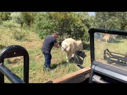 Incredibly CLOSE Lion Safari Encounters | South Africa Safaris