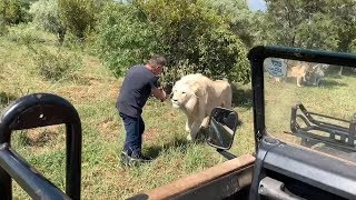 Incredibly CLOSE Lion Safari Encounters | South Africa Safaris