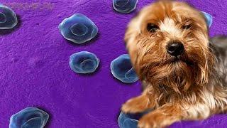 Хламидиоз у собак | Признаки | Симптомы | Лечение.