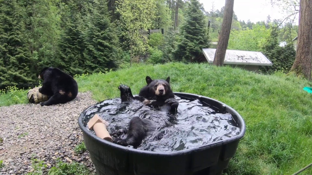 Black Bear Takoda Takes A Splashy Bath