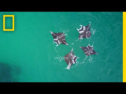 Manta Ray 'Brunch': Like Us, They're Social Eaters | National Geographic