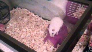 Backflipping Hamster