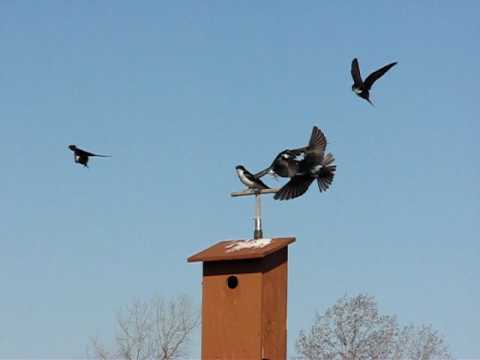 Tree Swallow Chatter Call