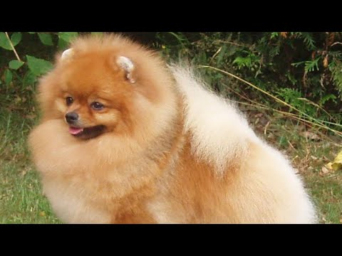 toy-pom-cutest-small-dog-breed-in-the-world-puppies-for-sale-|toy-breed|