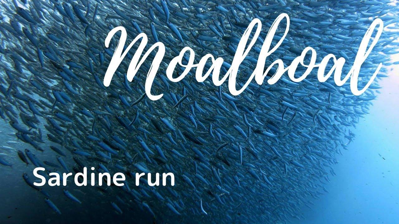 Sardine Run Moalboal Philippines Youtube