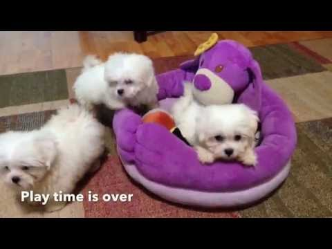 Adorable tiny Maltese Shih Tzu Mix puppies for sale in Florida