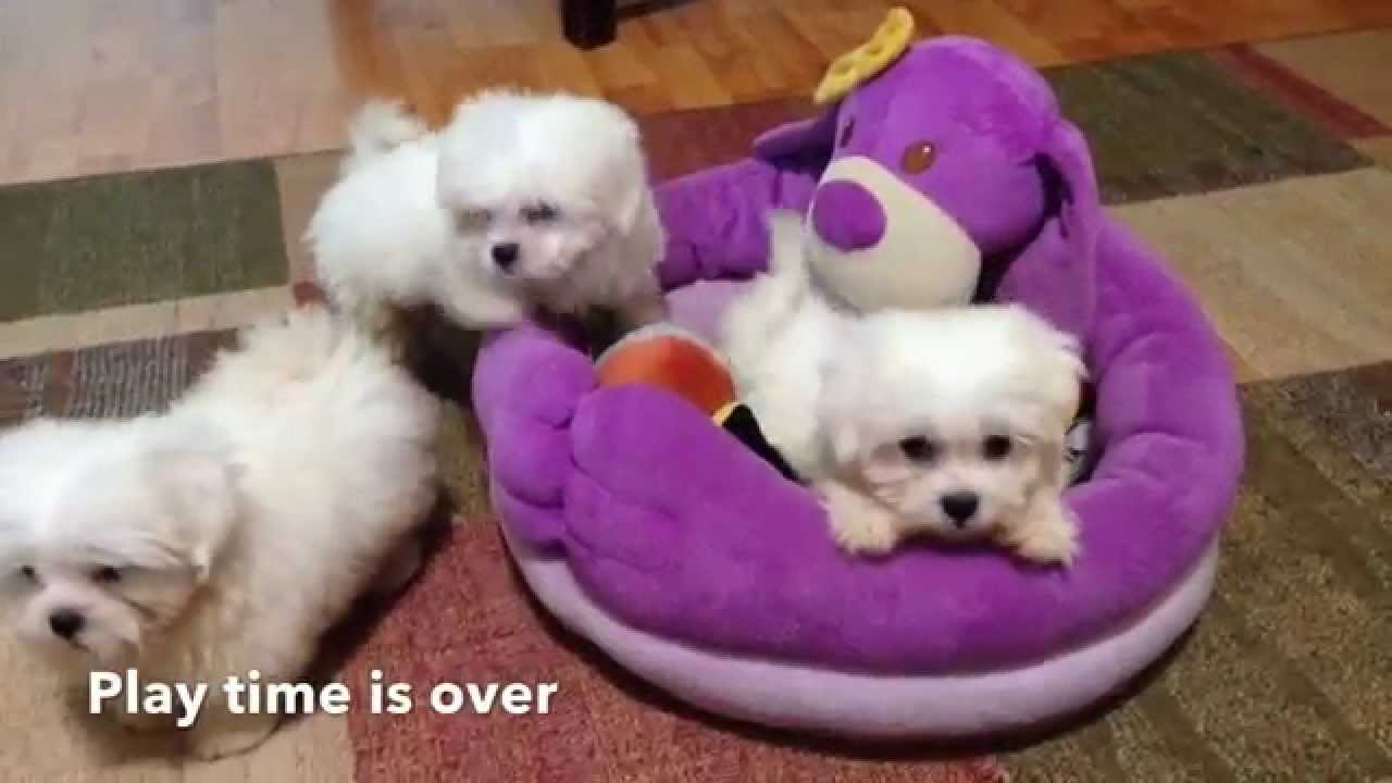 Adorable Tiny Maltese Shih Tzu Mix Puppies For Sale In Florida Youtube