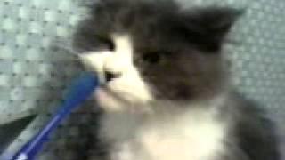Моя кошка чистит зубы.