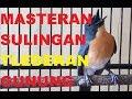 Masteran Suara Burung Sulingan Tledekan Gunung Gacor Full Isian  Mp3 - Mp4 Download