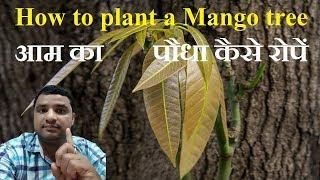 | How to plant a mango tree | आम का पौधा कैसे रोपें