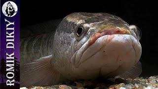 Много змеголова Отрыв по спиннингу Результативная рыбалка