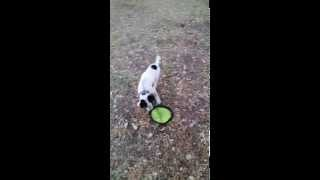 Playful Heeler Puppy | Adopt From Texas Cattle Dog Rescue
