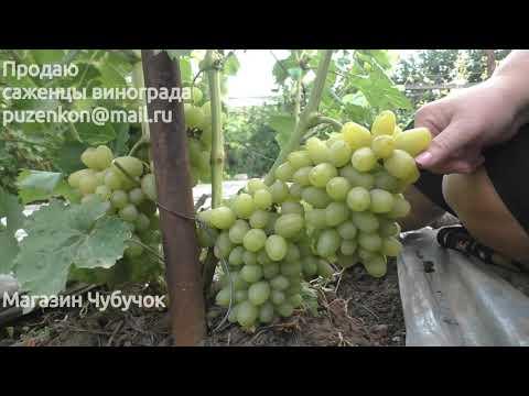Виноград Белый хрустальный - ультраранний янтарный виноград на участке Пузенко Н.Л.