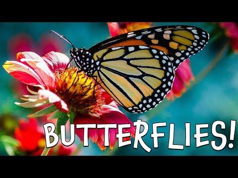 Butterflies! Fun Butterfly Facts for Kids