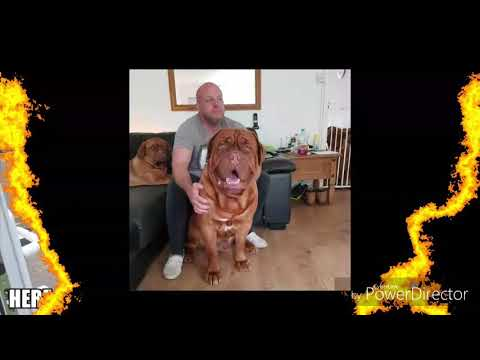 Regalrouge Dogue de Bordeaux in a video, KC assured breeders with a massive passion for our dogs xx