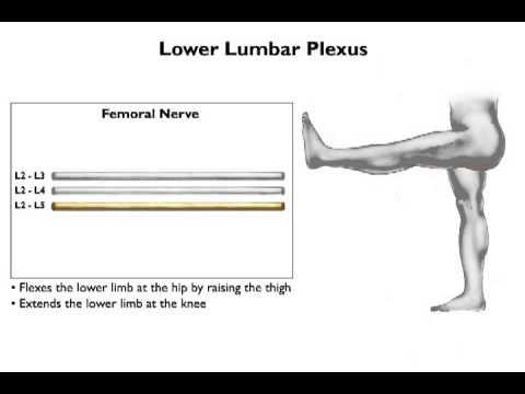 Lower Limb and Lumbosacral Plexus