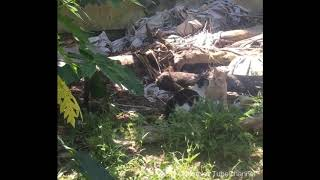 REAL CATS FIGHTING WITH SOUND IN OUR BACKYARD CAUGHT ON MY PHONE II ChristNet TubeChannel