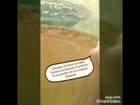 Como alimentar a los peces con artemia salina youtube for Artemia para peces