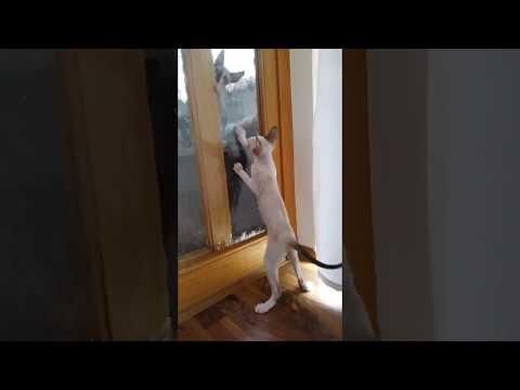 Cornish Rex Kittens!