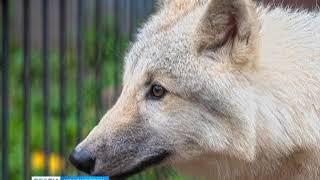 Красноярцев просят придумать имя для полярного волка
