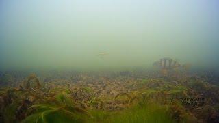 Ловля окуня на мелководье. Подводная съемка.