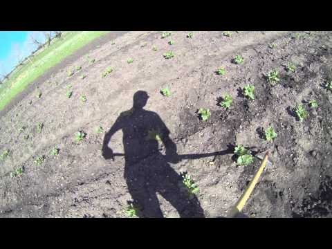 Hoeing Broad Beans at Cambridge CropShare