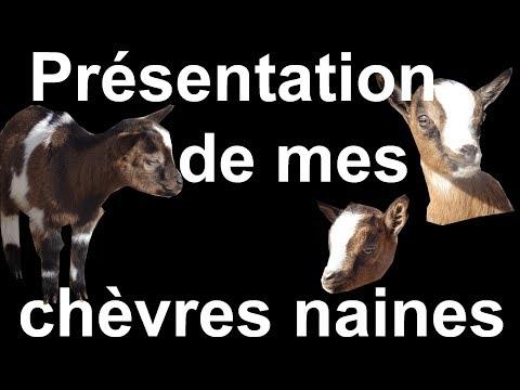 PRESENTATION DE MES CHEVRES NAINES