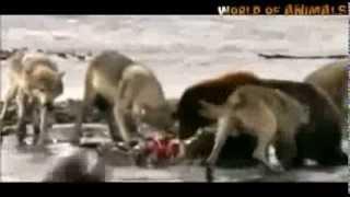 Fox Attack Bear Asia Yala Animal attack Top ten10@animal