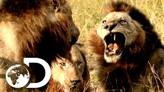 Most Savage Pack Of Lion Brothers | The Lions Of Sabi Sands