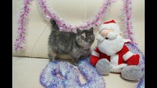 Котёнок - экзот черепахового окраса