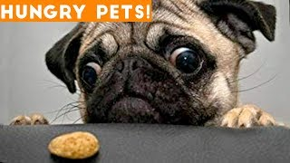 Funniest Hungry Pets Compilation 2018  Funny Pet Videos