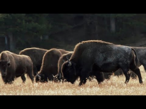 Nature: Bison at Yellowstone