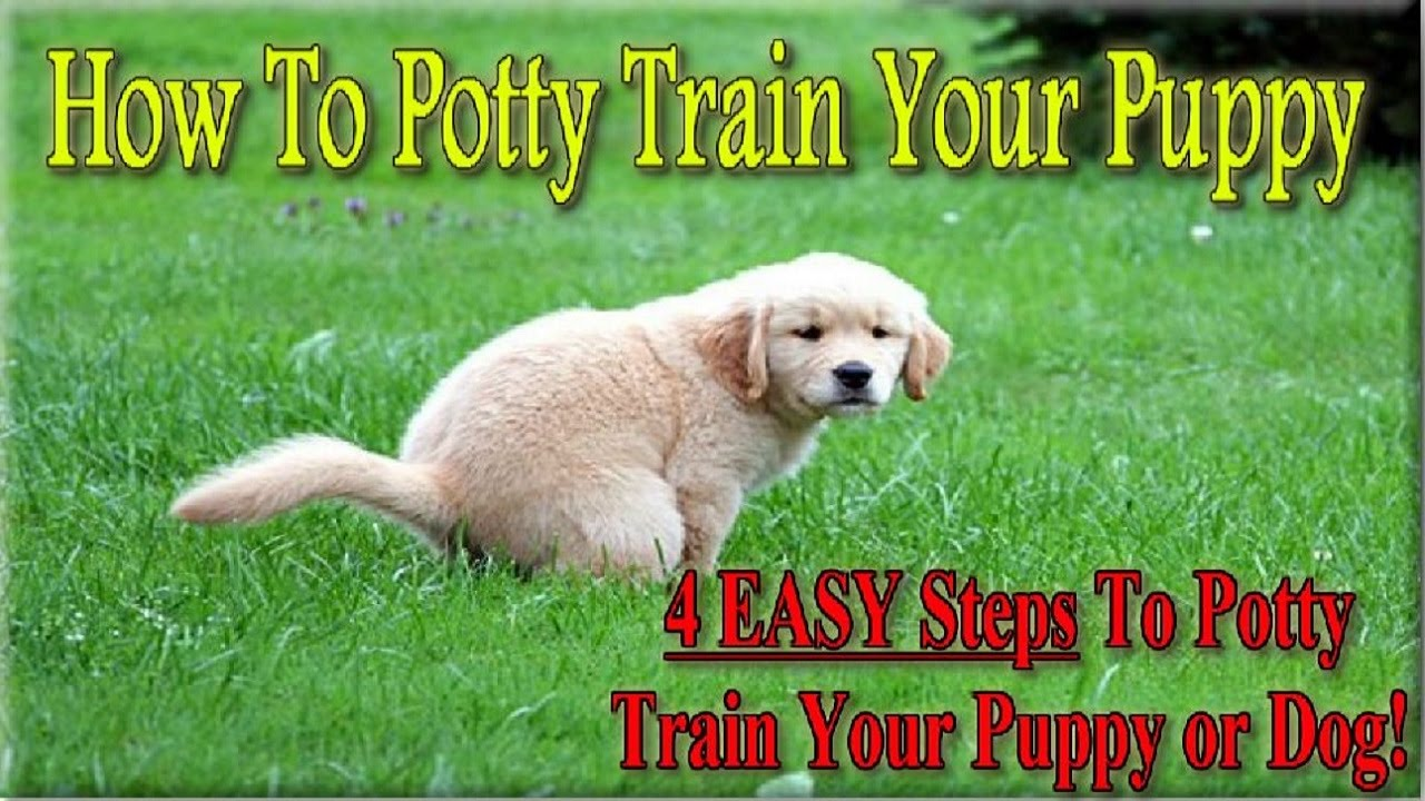 +++ How To Potty Train A Puppy ♥ 4 EASY STEPS ♥ How To House Train Your Dog  :))))   YouTube