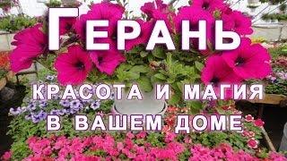 Герань - красота и магия в Вашем доме.(Комнатная герань считается женским цветком. http://sovet-internet.ru/geran-krasota-i-magiya-v-vashem-dome.html Герань не только красиво..., 2014-06-02T20:30:30.000Z)