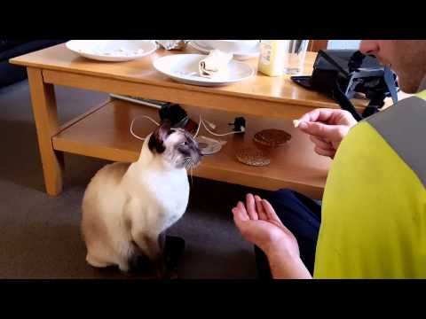 Training a Siamese Cat.