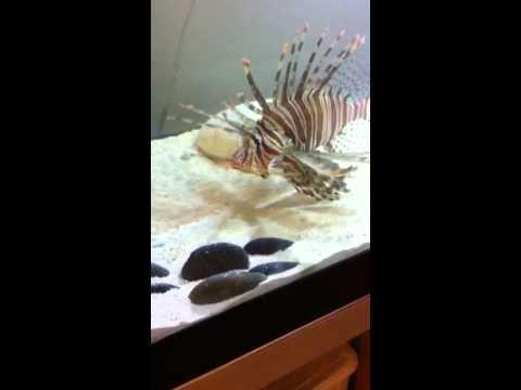 Feeding my pet lionfish