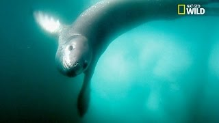 Attaques spectaculaires de léopards de mer sur des manchots