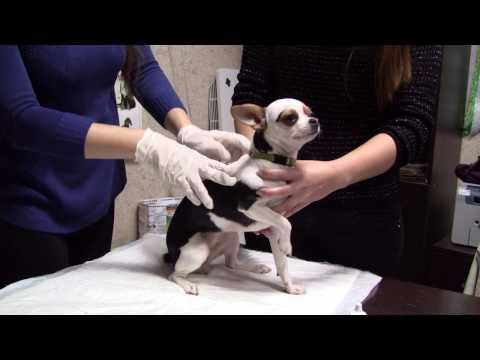 Как ставят чип собаке видео