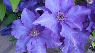 How To Grow Clematis In A Container