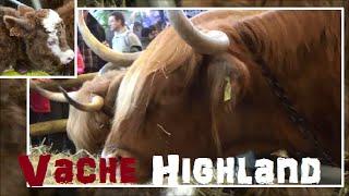 Vache Highland - Bos taurus - Linnaeus, 1758 - Salon de l'Agriculture 2015 - 03/2015