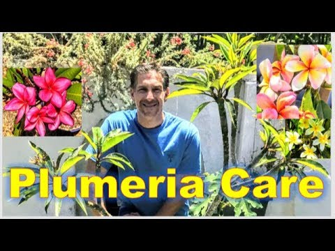 Plumeria A/k/a Frangipani CARE | RE-POTTING  | FEEDING  | CUTTINGS