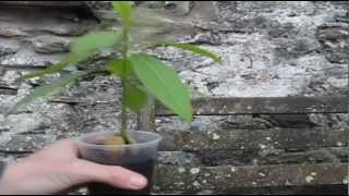 How to Prune an Avocado seedling
