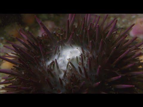 Sea Urchins Spawning!