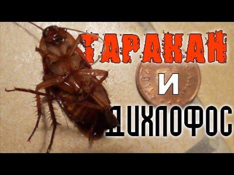 Огромный таракан против дихлофоса! Отчаянная схватка!