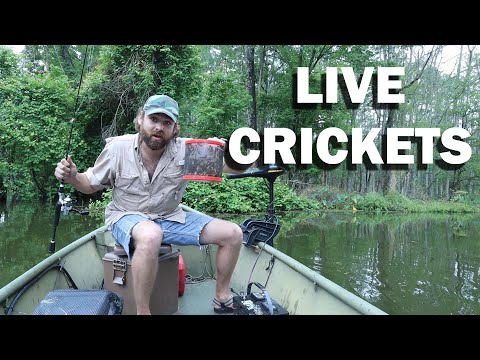 Perch Jerkin' SOLO With LIVE CRICKETS